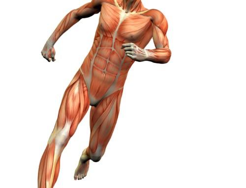 ¿Cuáles son los músculos más importantes para correr?