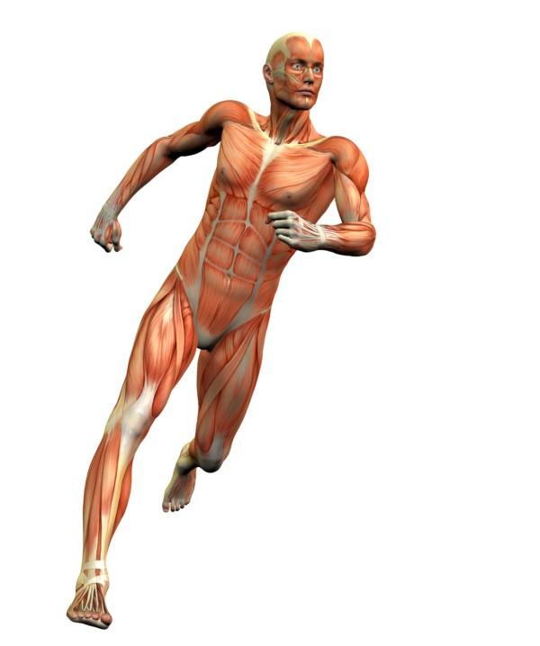 Cuáles son los músculos más importantes para correr? – Gotzam Blog